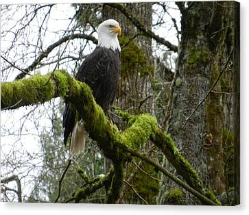 Eagle On A Mossy Limb Canvas Print