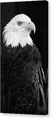 Eagle Portrait Special  Canvas Print by Coby Cooper