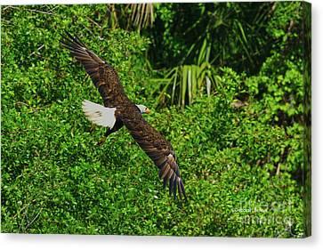 Canvas Print featuring the photograph Eagle Series Flight by Deborah Benoit