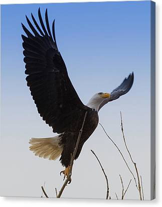 Eagle Takeoff Canvas Print