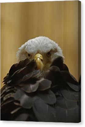 Eagle Thinking Canvas Print by Peter Gray