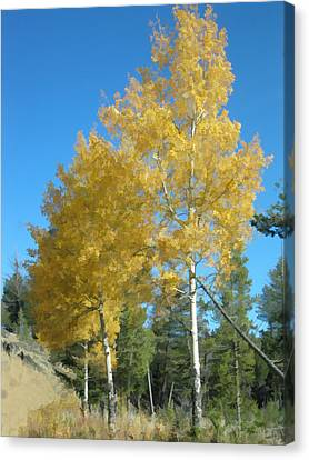 Early Autumn Aspens Canvas Print