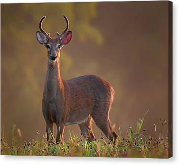 Early Buck Canvas Print by Bill Wakeley