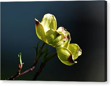 Early Dogwood Blossoms Canvas Print