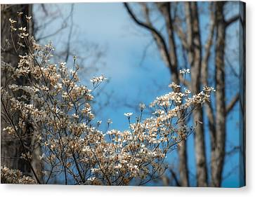 Early Dogwood Canvas Print by James Barber