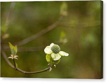 Early Dogwood Canvas Print by Rebecca Cozart