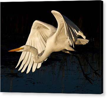 Early Light Egret Canvas Print by Lamarre Labadie