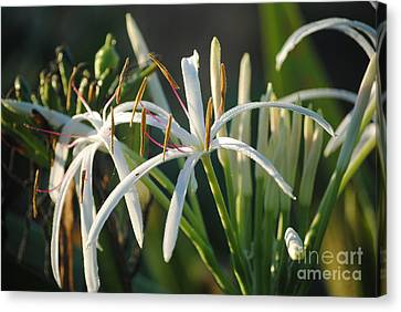 Early Morning Lily Canvas Print