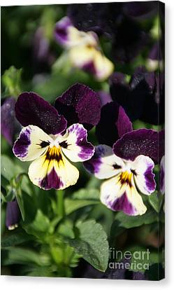 Early Morning Pansies Canvas Print by Andrea Jean