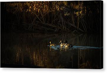 Early Morning Pintails Canvas Print by TL Mair