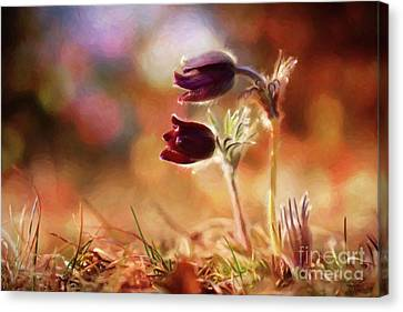 Early Morning Purple Pasque Canvas Print by Chris Armytage