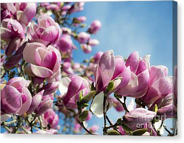 Canvas Print featuring the photograph Early Spring Magnolia by Angela DeFrias