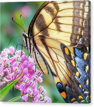 Feeding Canvas Print - Easter Tiger Swallowtail Butterfly by Jim Hughes
