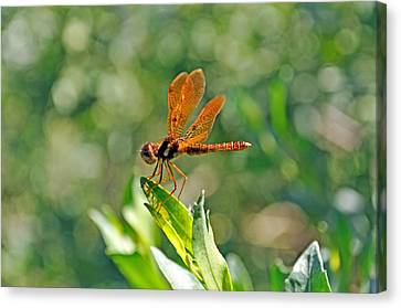 Eastern Amber Wing Dragonfly Canvas Print by Kenneth Albin