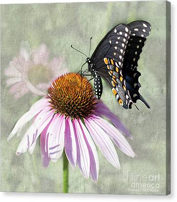 Eastern Black Swallowtail And Echinacea  Canvas Print by Barbara McMahon