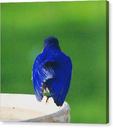 Eastern Bluebird. #birds #birding Canvas Print by Heidi Hermes