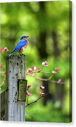 Eastern Bluebird Canvas Print by Christina Rollo