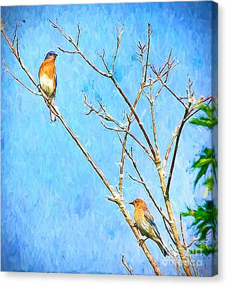 Eastern Bluebird Couple Canvas Print