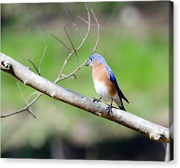 Canvas Print featuring the photograph Eastern Bluebird by George Randy Bass