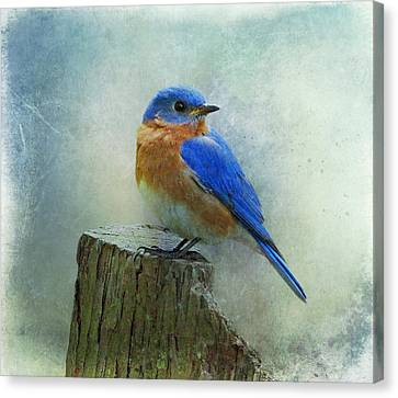 Eastern Bluebird II Canvas Print