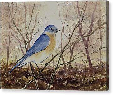 Eastern Bluebird Canvas Print by Sam Sidders