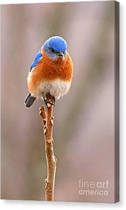 Eastern Bluebird Treetop Perch Canvas Print by Max Allen