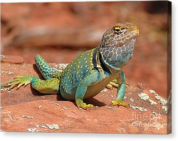 Eastern Collared Lizard Canvas Print
