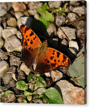 Eastern Comma Butterfly Canvas Print by Chris Flees