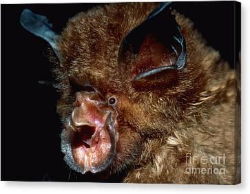 Eastern Horseshoe Bat Canvas Print