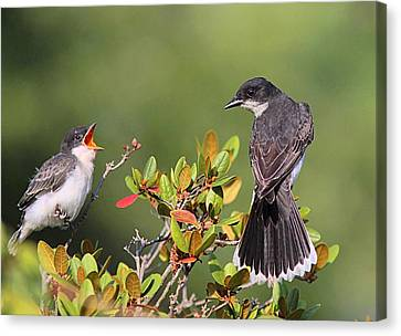 Eastern Kingbird And Fledgling Canvas Print