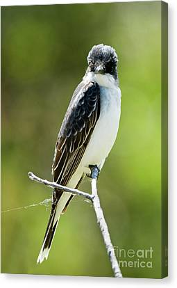 Eastern Kingbird Stare Canvas Print