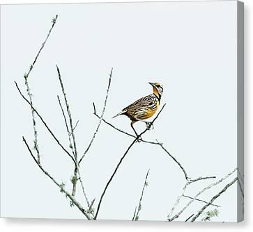 Eastern Meadowlark II Canvas Print by Dawn Currie