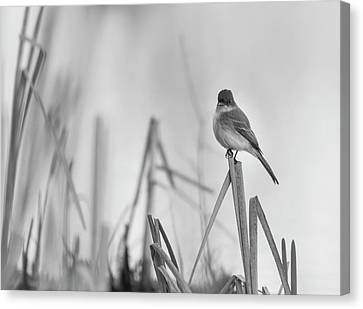 Eastern Phoebe 2017 Canvas Print by Thomas Young