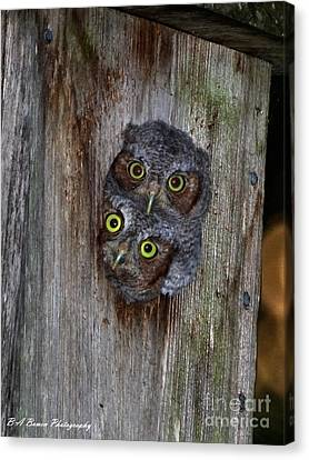 Eastern Screech Owl Chicks Canvas Print
