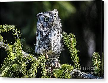 Eastern Screech Owl Canvas Print