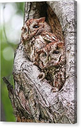 Eastern Screech Owls Canvas Print by Mircea Costina Photography