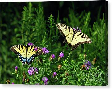 Canvas Print featuring the photograph Eastern Tiger Swallowtail Butterfly - Female And Male  by Kerri Farley