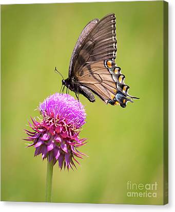 Canvas Print featuring the photograph Eastern Tiger Swallowtail Dark Form  by Ricky L Jones