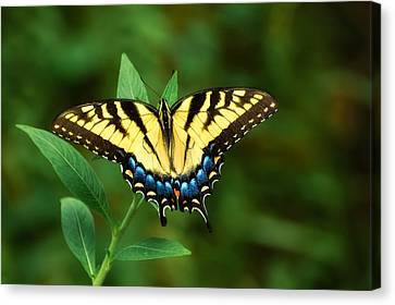 Eastern Tiger Swallowtail Canvas Print by Rich Leighton