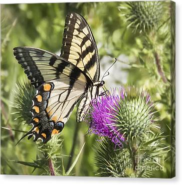 Eastern Tiger Swallowtail Canvas Print by Ricky L Jones