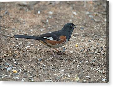 Eastern Towhees Are Birds Of The Undergrowth Canvas Print