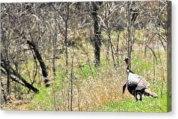 Eastern Wild Turkey Retreats From Scouting Canvas Print by Rachel Hersh