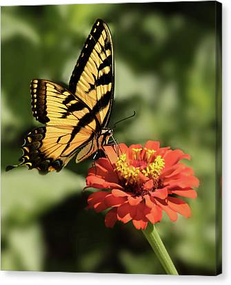 Eastern Yellow Swallowtail Canvas Print