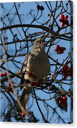 Canvas Print featuring the photograph Eating Berries by Cathy Harper