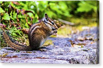 Canvas Print featuring the photograph Eating Chipmunk by Jonny D