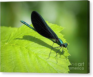 Canvas Print featuring the photograph Ebony Jewelwing by Ricky L Jones