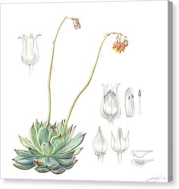 Echeveria Spp. Canvas Print by Logan Parsons