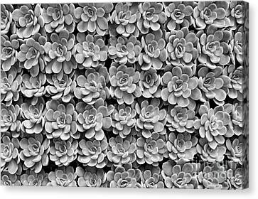 Canvas Print featuring the photograph Echeveria by Tim Gainey