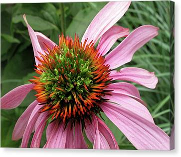 Echinacea Close  Canvas Print
