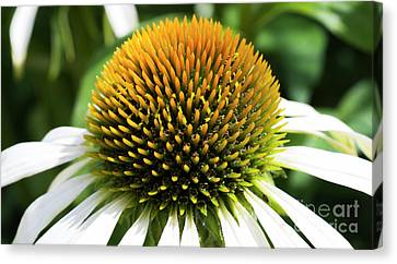 Canvas Print featuring the photograph Echinacea - Head And Shoulders by Wendy Wilton